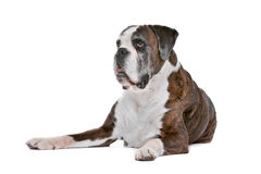 Boxer dog in front of a white background Stock Photos