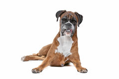 Boxer dog in front of a white background Royalty Free Stock Photography