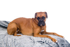 Boxer dog on a fur blanket Royalty Free Stock Photo
