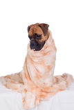 Boxer dog with fur blanket Royalty Free Stock Photo