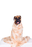 Boxer dog with fur blanket Royalty Free Stock Image