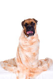 Boxer dog with fur blanket Stock Photo
