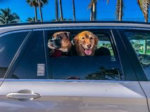 Two dogs in a car stock photo