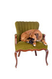 Boxer dog on a green chair Stock Photography