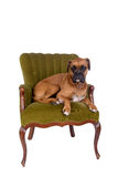 Boxer dog on a green chair Royalty Free Stock Image