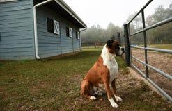 Boxer dog guarding farm. Handsome boxer dog looking through a fence while guarding a farm stock photos
