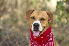 Boxer Dog Happy Stock Images