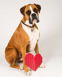 Boxer Dog with a heart. Boxer dog with a red striped heart Stock Photography