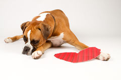 Boxer Dog with a heart. Boxer dog laying down with a red striped heart Royalty Free Stock Photos