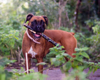 Boxer dog holding a stick in woodland Royalty Free Stock Photo