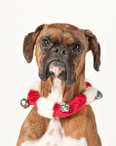 Boxer Dog with Holiday Collar Isolated on White. Royalty Free Stock Photography