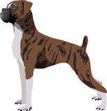 Boxer dog. Illustration of purebred boxer. Also in vector format Royalty Free Stock Photo