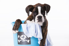 Boxer dog inside a bucket Royalty Free Stock Photos