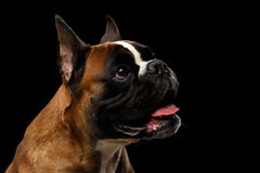 Best Boxer Black Adorable Dog - boxer-dog-isolated-black-background-portrait-adorable-97544372  Gallery_973559  .jpg