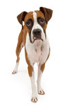 Boxer Dog Isolated on White Stock Image