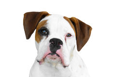 Boxer dog. Isolated white and brown boxer canine dog face head with black eye patch and nose snout on pure white background looking curious watching waiting stock photos