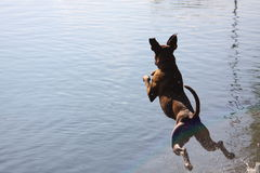 Boxer dog jump to the water Stock Image