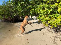 boxer dog jumping on a beach Stock Photo