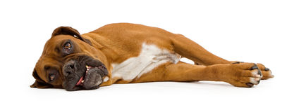 Boxer Dog Laying Down and Isolated on White Royalty Free Stock Photo
