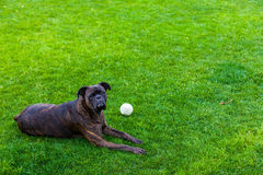 Boxer dog laying on a grass Royalty Free Stock Photos