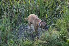 Boxer dog leaping in the marsh stock photography