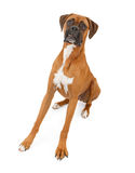 Boxer Dog With Legs Extended and Teeth Out stock photos