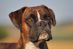 Boxer dog. A boxer dog is looking at you stock images
