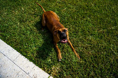 Boxer dog makes funny face in the grass Royalty Free Stock Photography