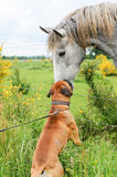Boxer dog making friends with a horse Royalty Free Stock Images