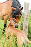 Boxer dog making friends with a horse Stock Images