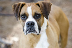 Boxer dog. Male fawn and white Boxer dog. Humane society pet adoption photo; outdoor dog photography. Walton County Animal Control, Monroe, Georgia, USA Stock Photos