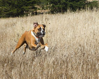 Boxer Dog in Motion. Boxer Dog running through a field Stock Photography
