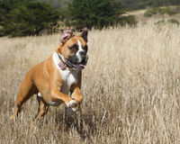 Boxer Dog in Motion. Boxer Dog running through a field royalty free stock photo
