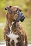 Boxer dog next to the river. Portrait of a boxer next to the river Stock Images