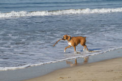 Boxer Dog in Ocean. Gromit Boxer is playing in the surf with his stick Royalty Free Stock Images