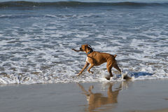 Boxer Dog in Ocean. Gromit Boxer is playing in the surf with his stick stock images