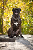 Boxer Dog Outdoor Stock Images