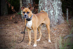 Boxer Dog. Outdoor pet photography, humane society adoption photo, Walton County Animal Shelter, Georgia Stock Photos
