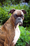 Boxer dog Outside. A brown and white Boxer dog outside with bushes and flowers Stock Images