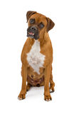 Boxer Dog with overbite Royalty Free Stock Photo