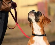 Boxer dog. In the park, portrait royalty free stock photos
