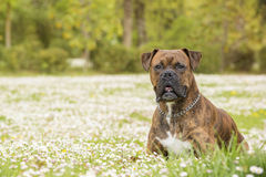 Boxer dog in the park Royalty Free Stock Photo
