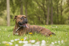 Boxer dog in the park Stock Image