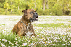 Boxer dog in the park Royalty Free Stock Photography