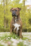 Boxer dog in the park Royalty Free Stock Photos