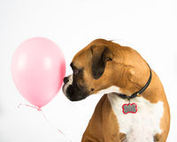 Boxer Dog and Pink Balloon. Boxer dog meets pink balloon stock images