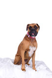 Boxer dog with pink head band and bow Stock Photo