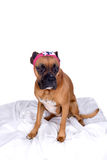 Boxer dog with pink head band and bow Royalty Free Stock Photos