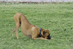 Boxer Dog Play Bow Stock Photos