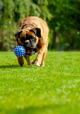 Boxer dog playing with ball. Boxer dog running after ball on grass Stock Image